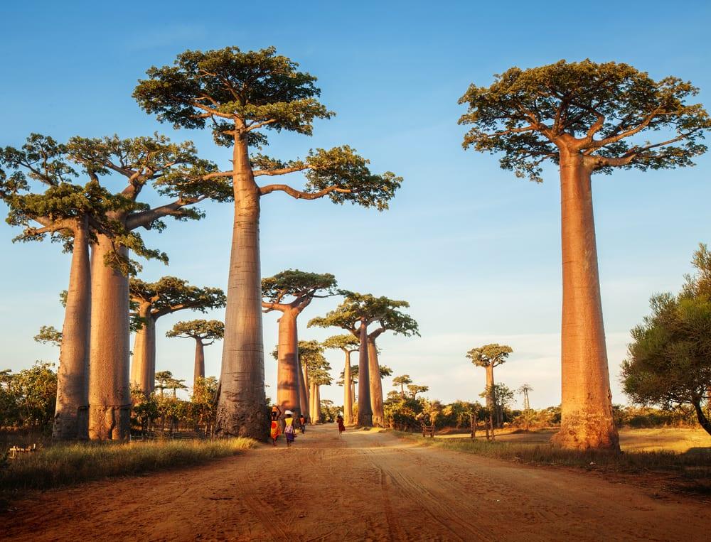 superfood baobab die wunderfrucht aus afrika miomente. Black Bedroom Furniture Sets. Home Design Ideas