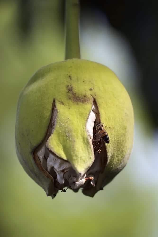 Superfood Baobab Die Wunderfrucht Aus Afrika Miomente