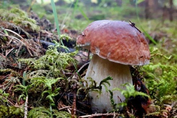 Junger Steinpilz im Wald - Miomente Entdeckermagazin