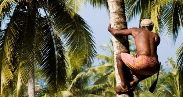 Kokosblütenernte für Palmzucker