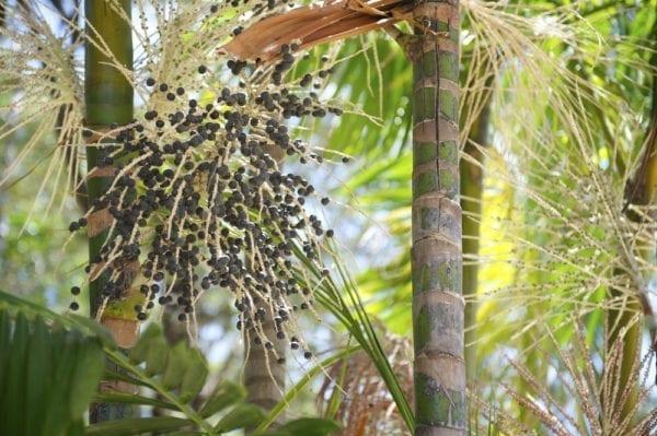 Die Kohlpalme wächst im Amazonas und trägt die Acai-Frucht