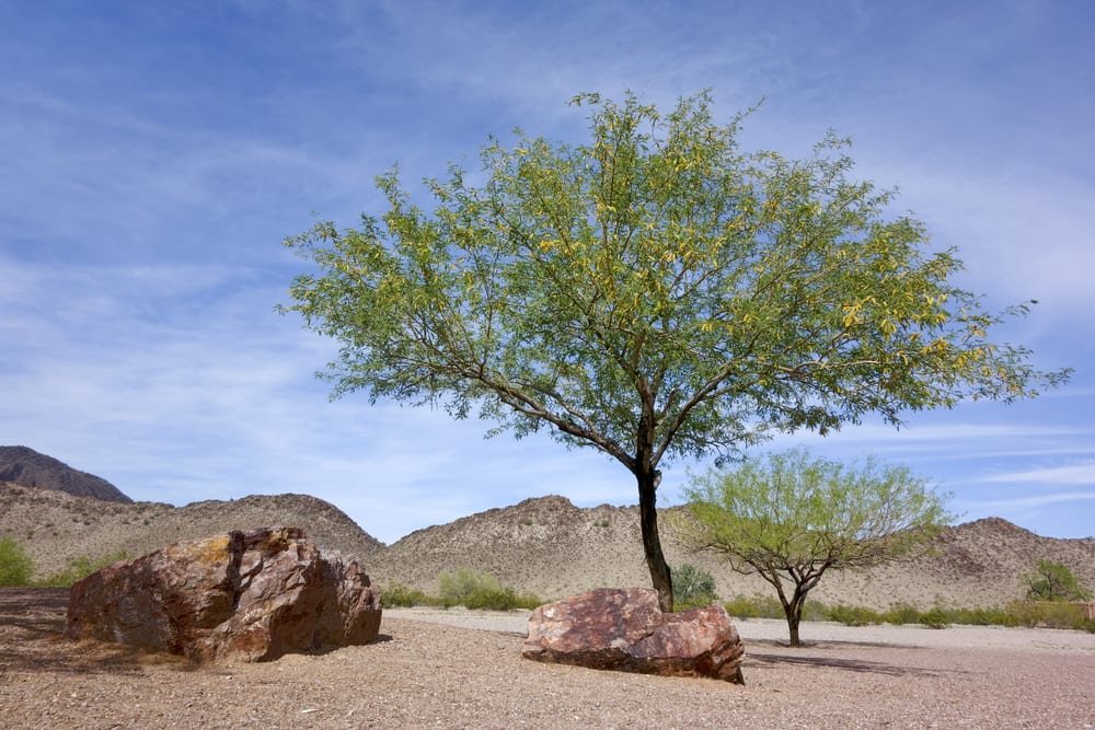 Mesquite-Baum in Mexiko