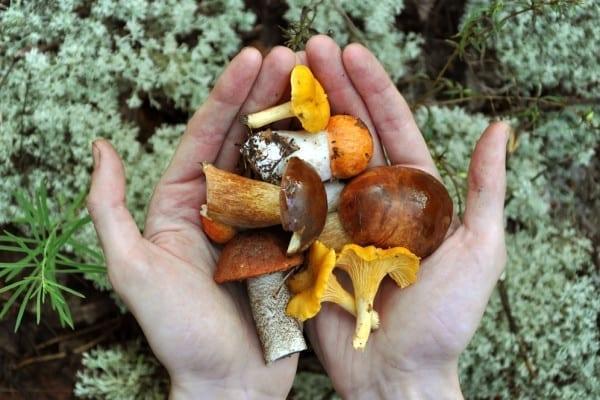 Essbare und giftige Pilze im heimischen Wald - unser Pilz-Quiz