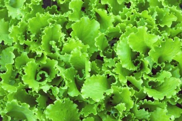 Vier Zutaten für den perfekten grünen Smoothie: Salat