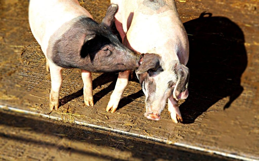 Ein Schweineleben - Schweinezucht nach biologischen Richtlinien auf Herrmannsdorf
