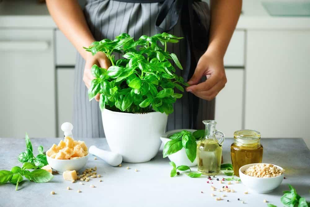 basilikum für Pesto