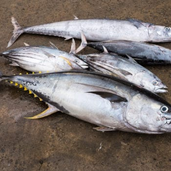 Yellowfin-Wildfang