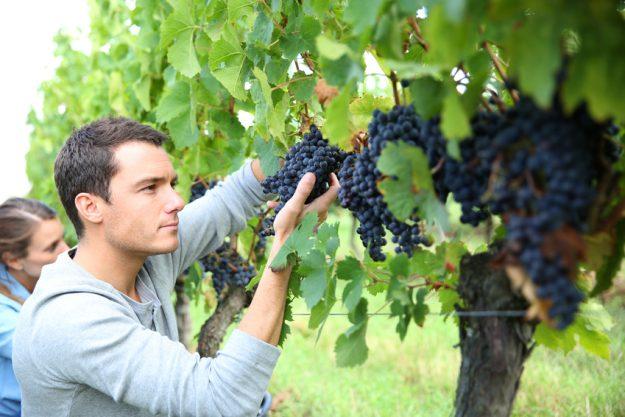 Weinseminar Mannheim - Weinreben schneiden