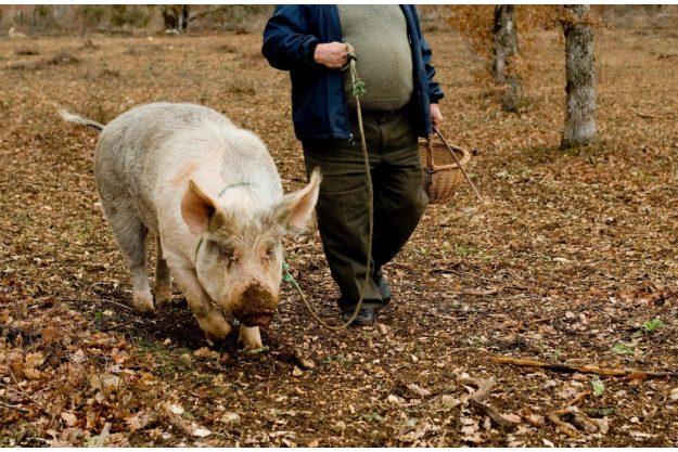virtuelle Reise ins Piemont Trüffelschweinchen