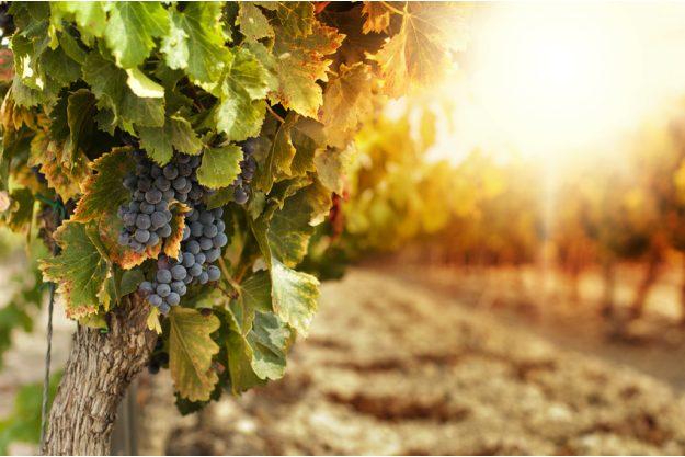 Italienisches Weinseminar Stuttgart - Weintrauben