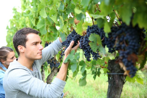Weinseminar Stuttgart - Mann prüft Rotweinreben