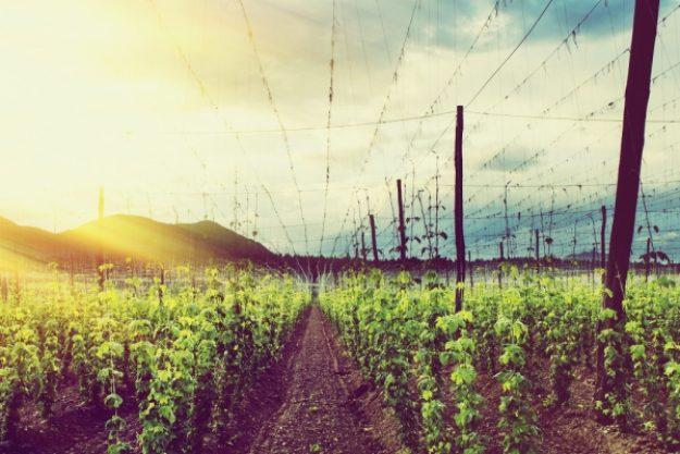 Bierproben-Gutschein –Hopfenfeld