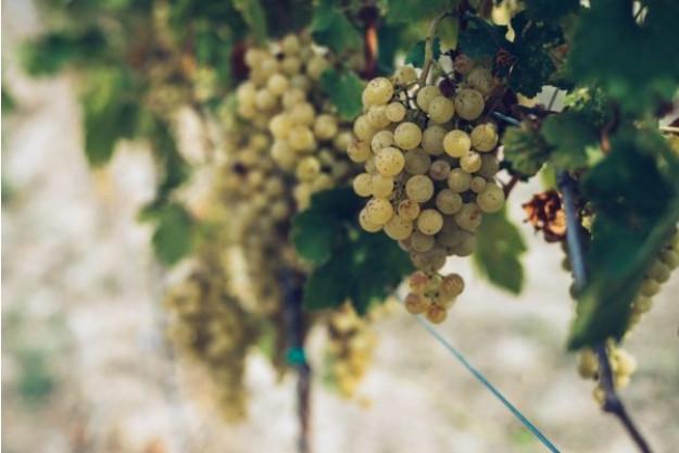 Weinseminar München –Riesling Trauben