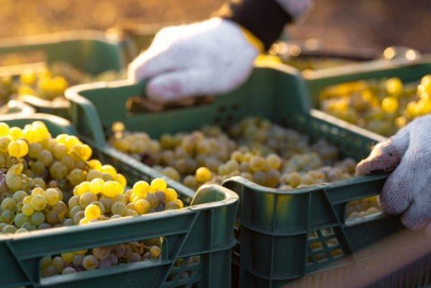 Weinseminar München –Traubenernte