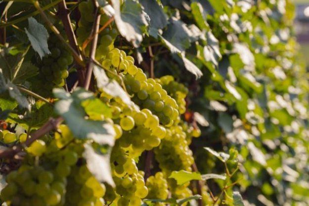 Weinseminar München – Weintrauben