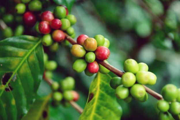 Barista-Kurs-Gutschein –Grüne und rote Kaffeebohnen