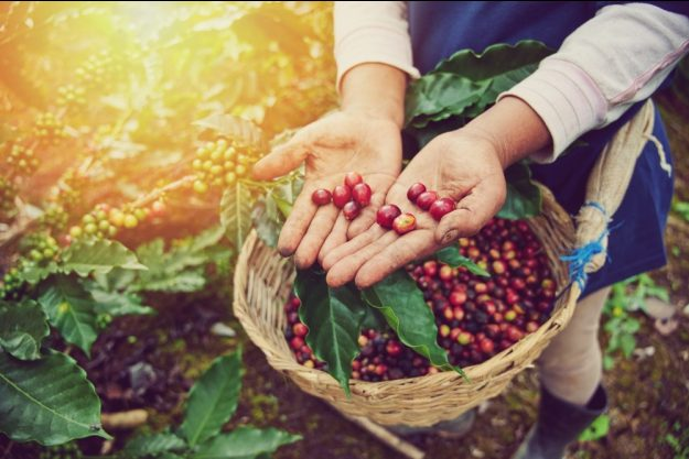 Barista-Kurs Bonn – Kaffeebohnen ernten