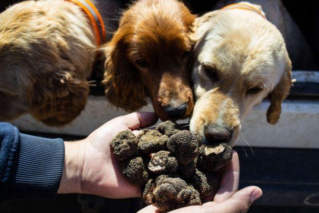 Virtuelle Reise best of Italy Trüffelhunde