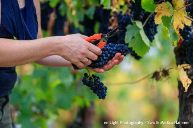 Weinwanderung online mit Essen Weinrebe