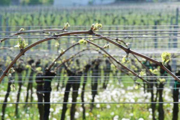 Weinwanderung online mit Essen Weinreben