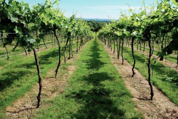 Schaumweinprobe München – Weinreben