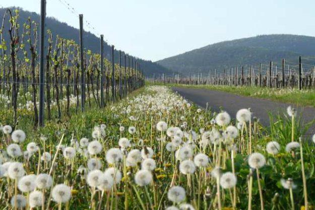 Weinwanderung online mit Essen Herbst