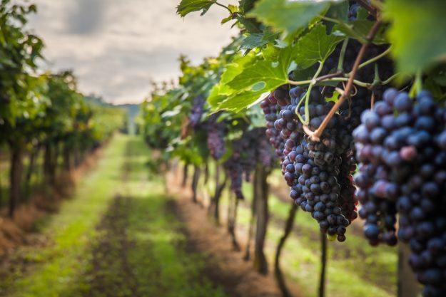 Wein und Tapas im Remstal Weinstöcke