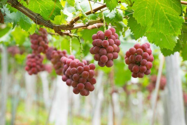 Wein für Einsteiger –Weintrauben