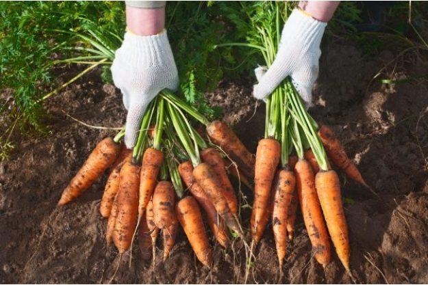 Kochen macht glücklich –Frisch geerntete Karotten