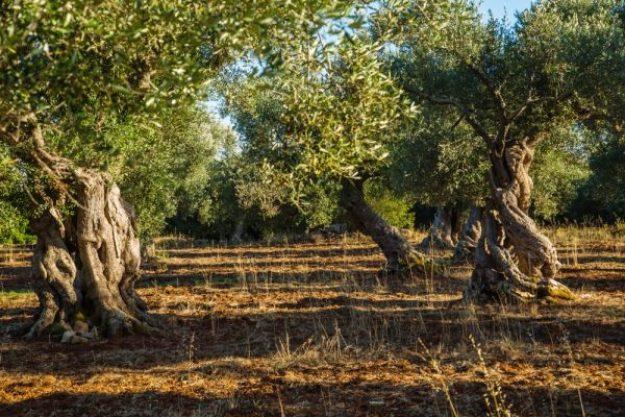 Olivenöl-Tasting at Home – Olivenbäume