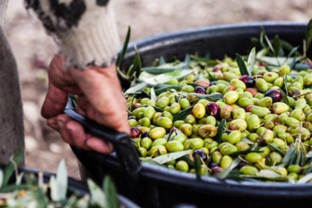 Olivenöl-Tasting at Home – Frisch geerntete Oliven